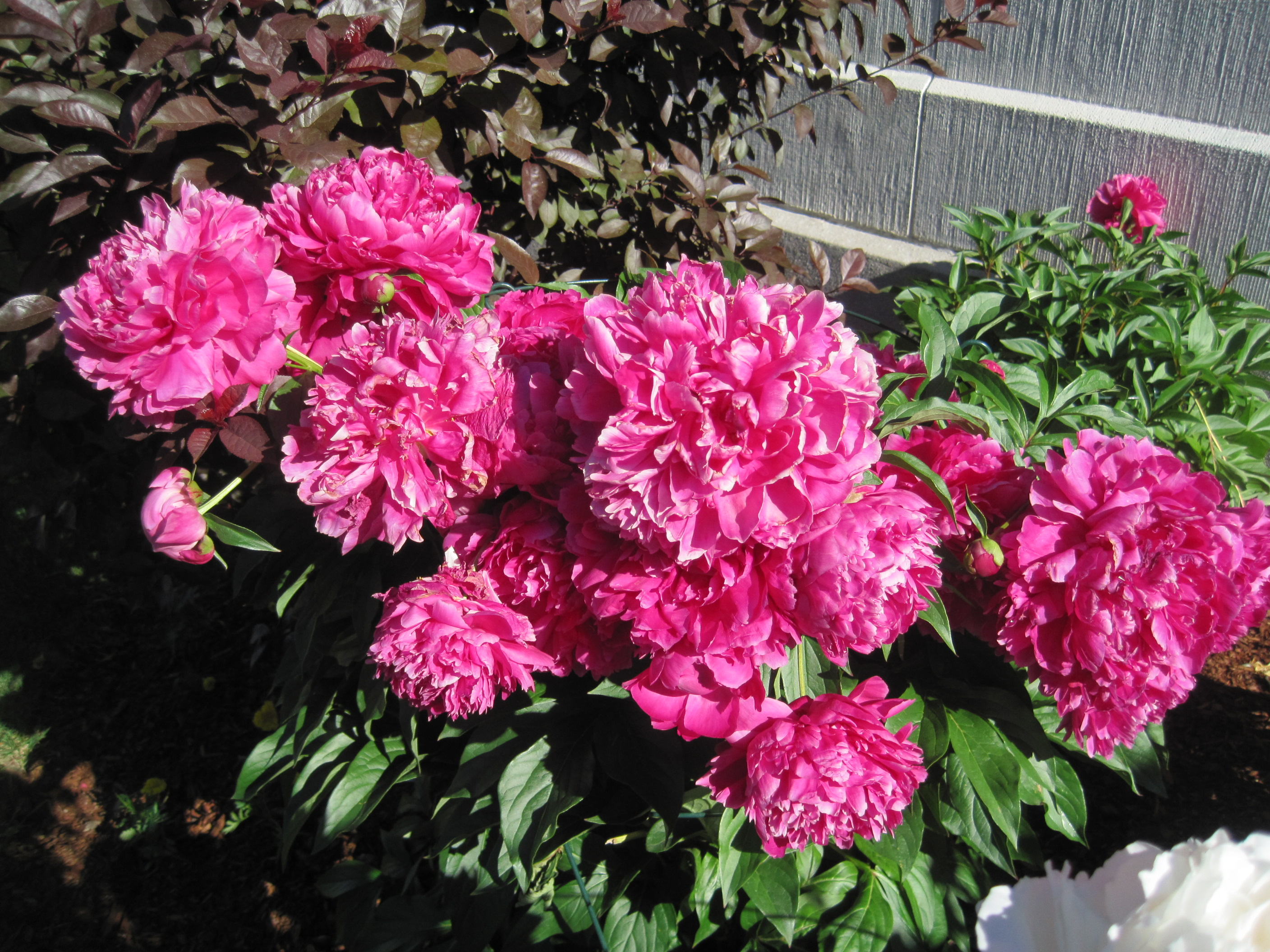 Peonies Season vermont peony season | matt-of-all-trades blog