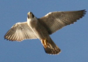 A peregren falcon either hunting or just having fun.