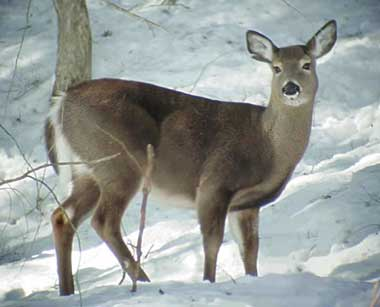 Deer Pics on White Tailed Deer  Both Beautiful And Extremely Annoying